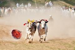 Bull`s drop their joki on the way , Bull race at chakwal